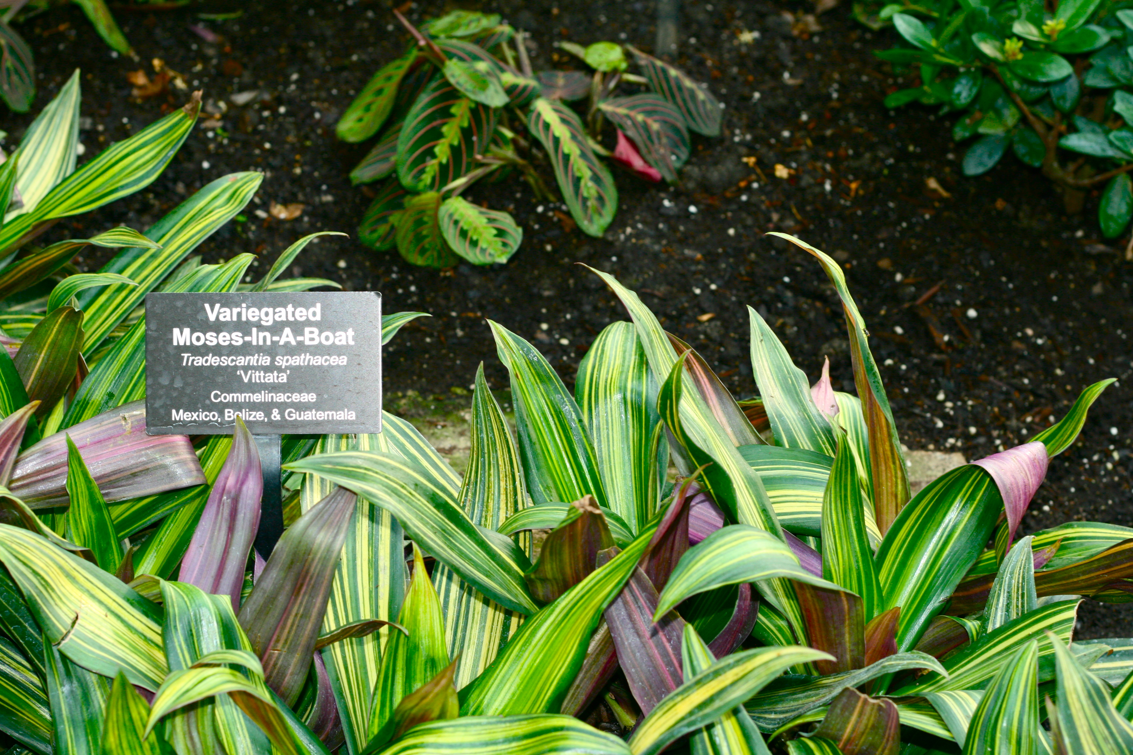 Places: Garfield Park Conservatory (by way of bizarre plant names)